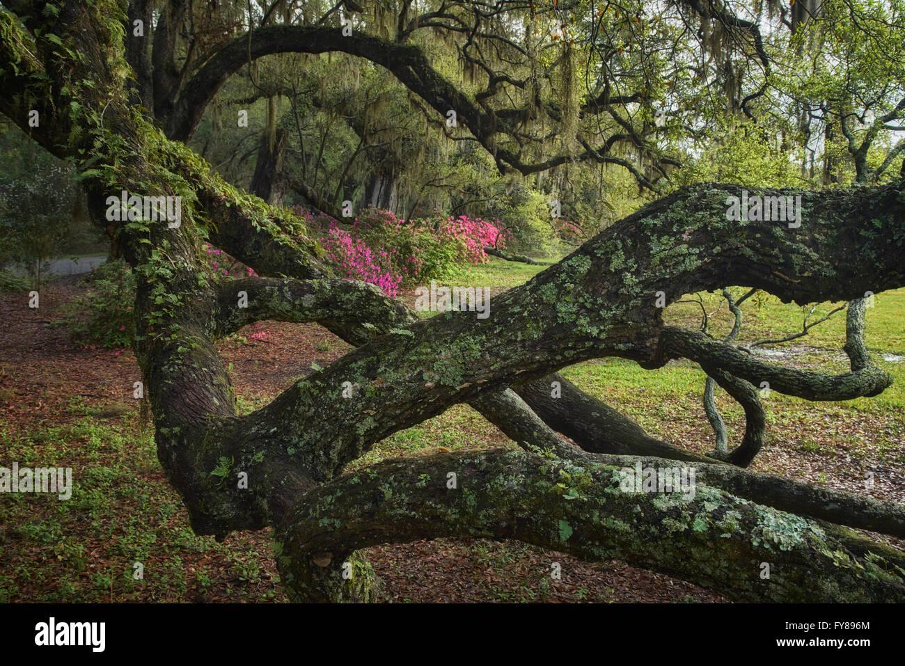 Majestic moss-covered oaks and azaleas at Magnolia Plantation and Gardens in Charleston, South Carolina - Stock Image