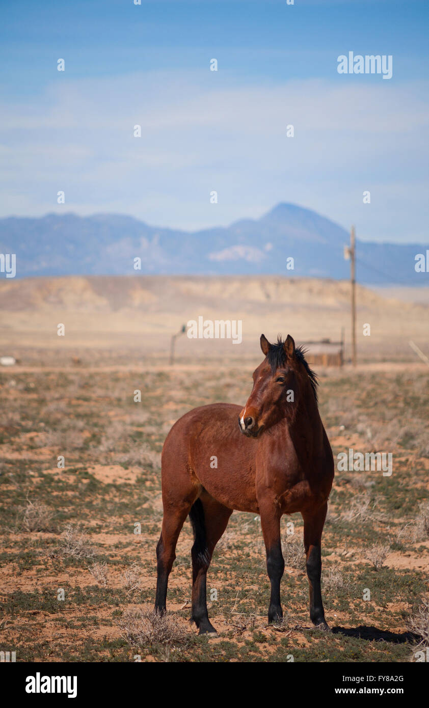A female (mare) horse (Equus ferus caballus) standing in the desert. Shiprock, San Juan County, New Mexico, USA. - Stock Image
