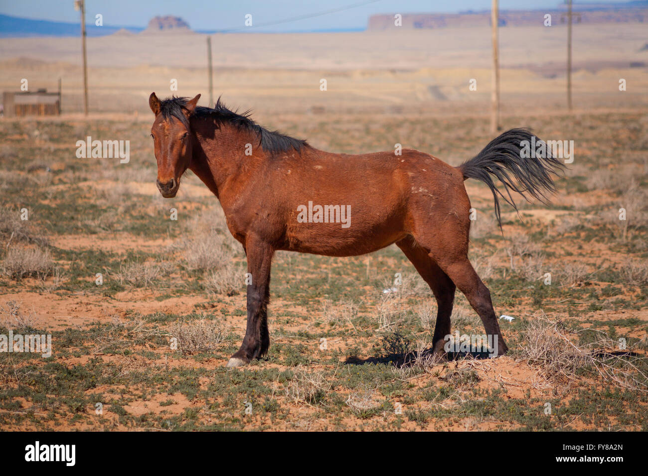 A female (mare) horse (Equus ferus caballus) posing with her tail raised in the desert. Shiprock, San Juan County, Stock Photo