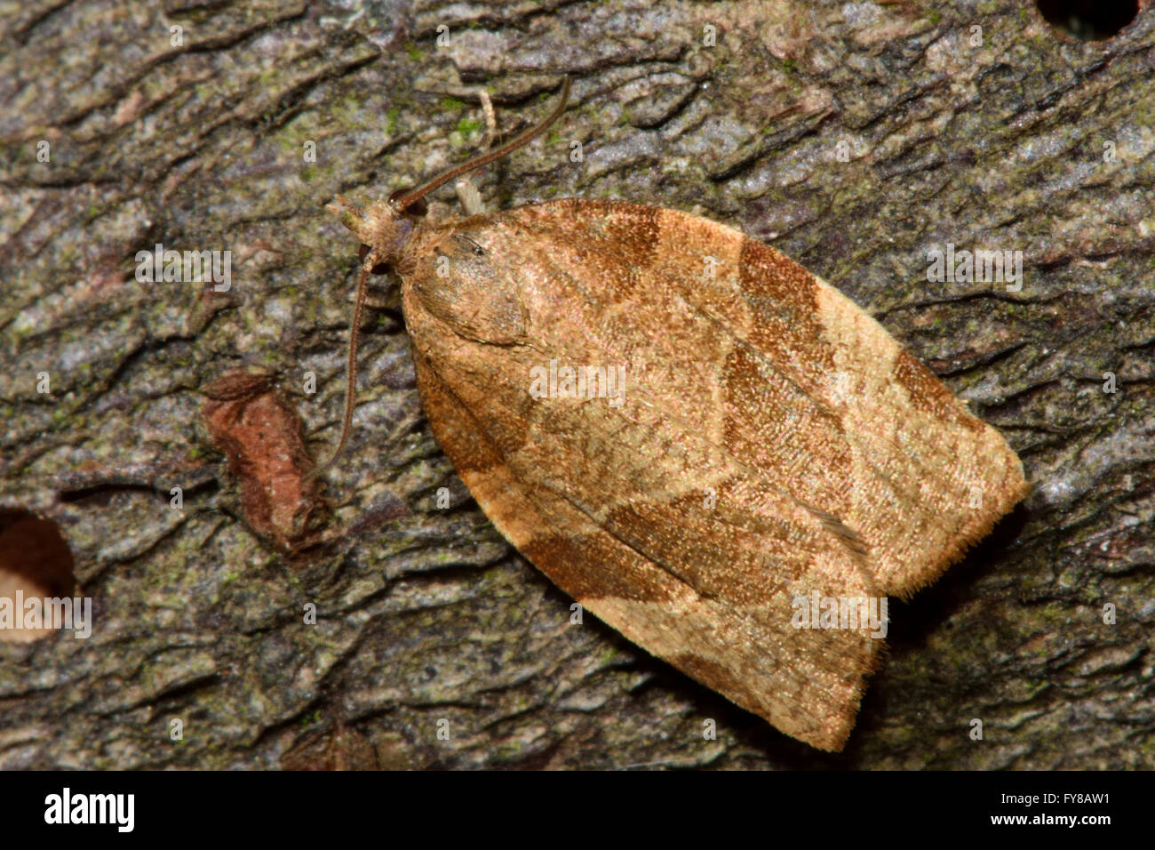 Barred fruit-tree tortrix (Pandemis cerasana) micro moth. Small British insect in the family Tortricidae, in order - Stock Image