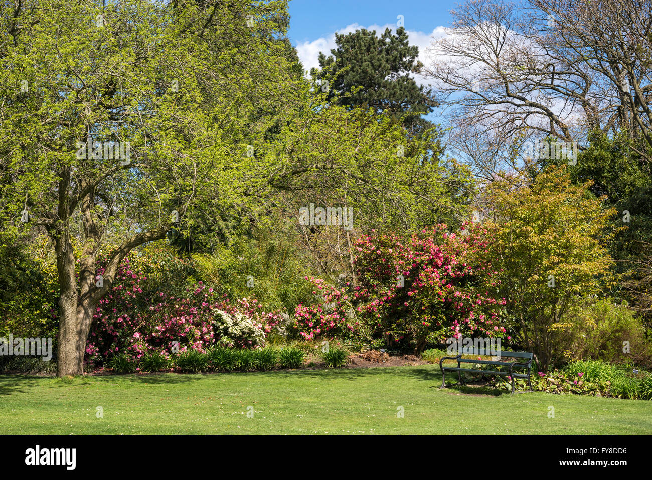 Springtime at Sheffield botanical gardens, Yorkshire, England. A green bench beneath flowering shrubs and trees. - Stock Image
