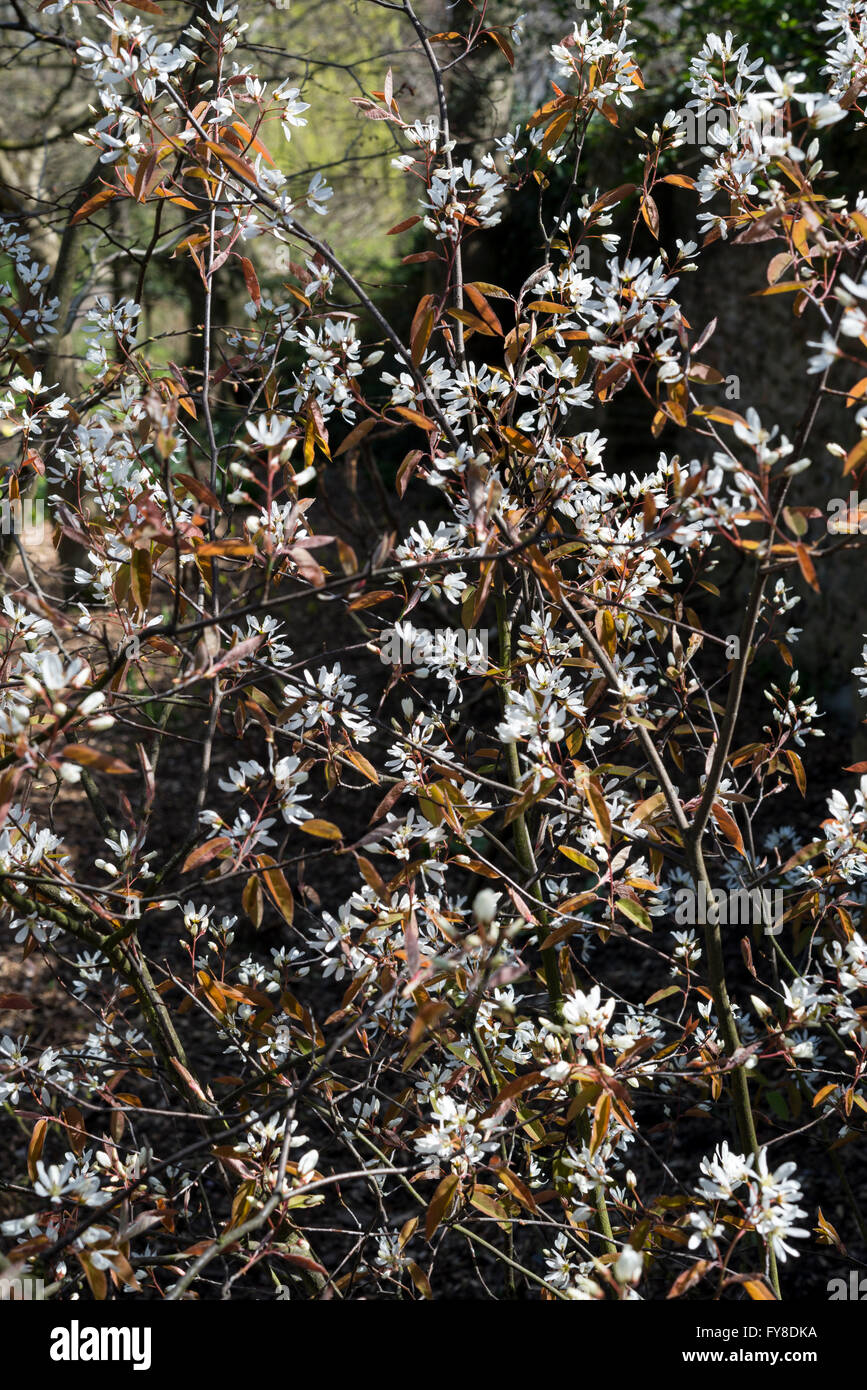 Amelanchier Lamarckii An Early Spring Flowering Shrub With White