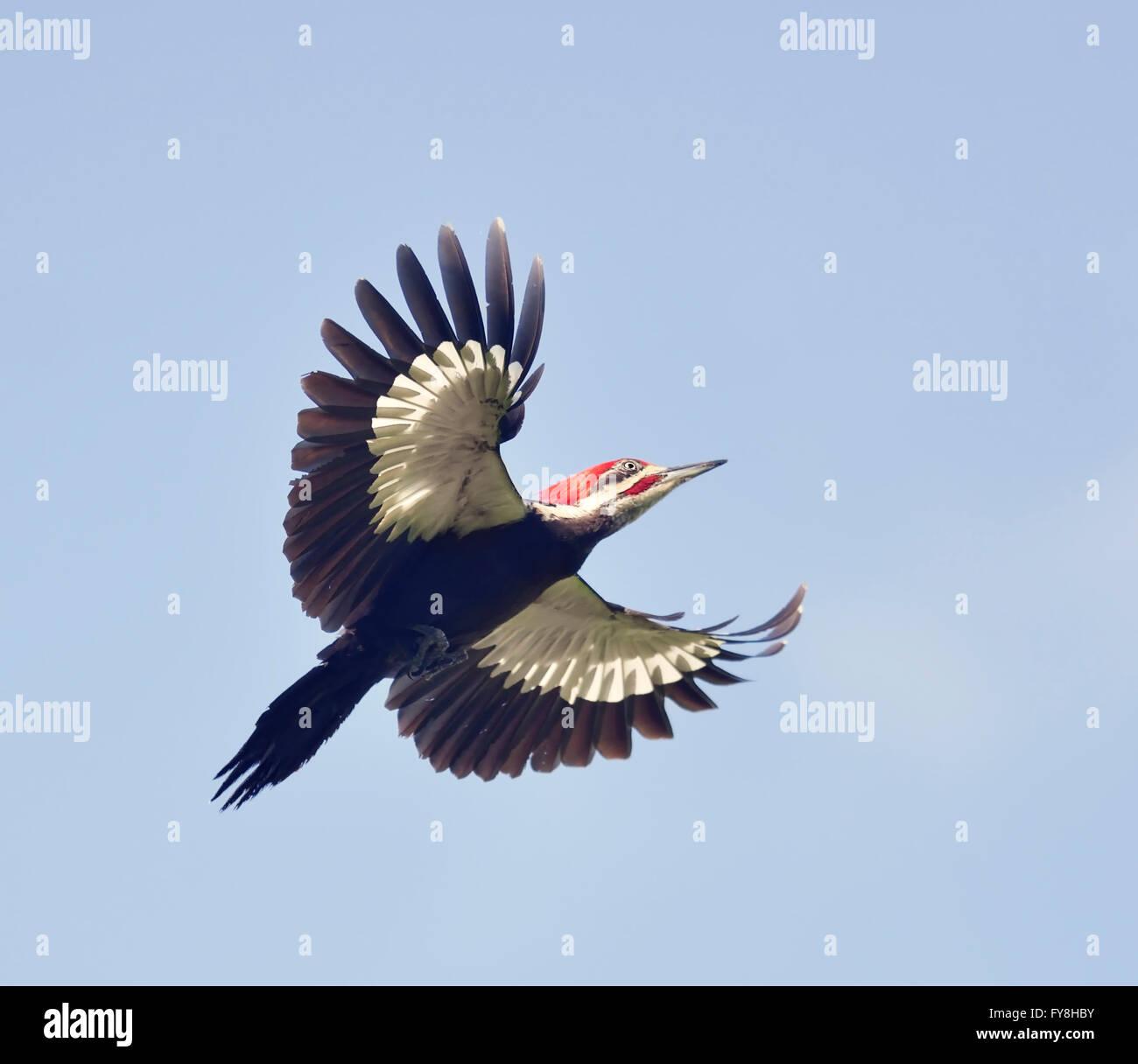 Male Pileated Woodpecker in Flight - Stock Image