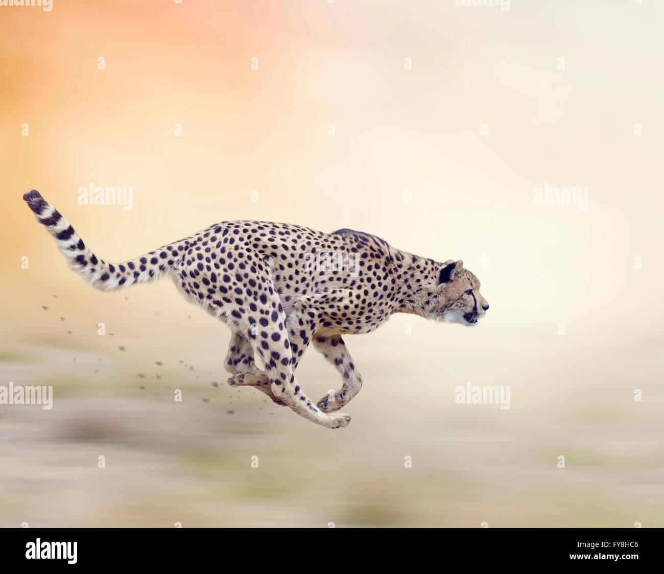 Cheetah  Running on Soft Focus Background - Stock Image