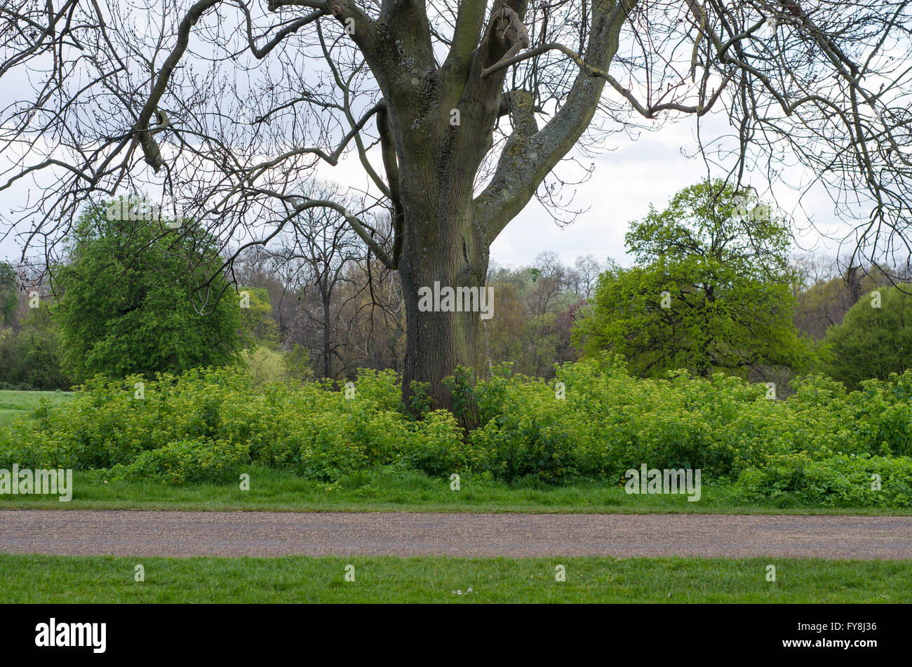 A patch of Alexanders (Smyrnium olusatrum) is left in Kensington Gardens, London, providing habitat for wildlife - Stock Image