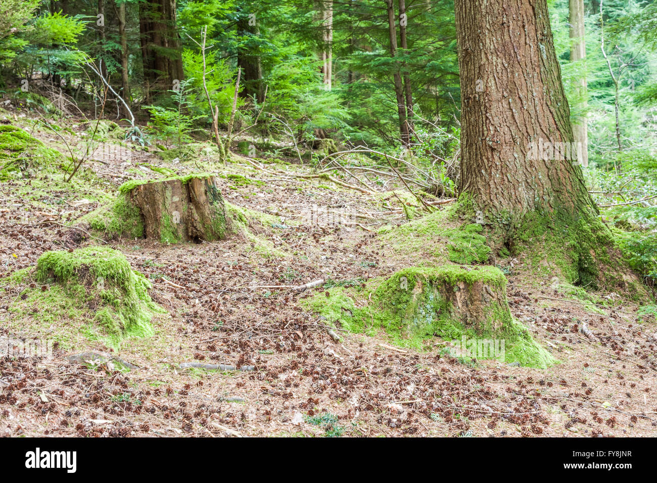 tree stumps covered in moss - Stock Image