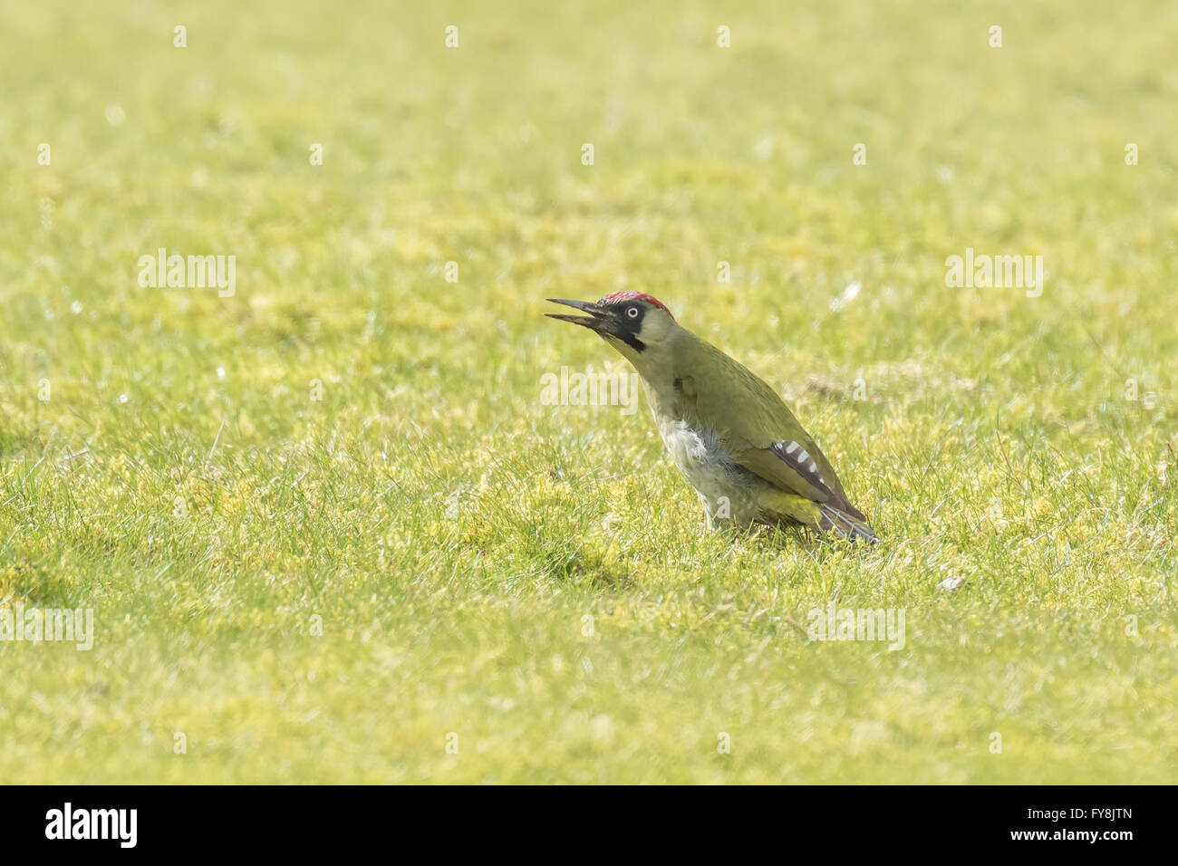 Male and female European green woodpeckers (picus viridis) foraging on a green meadow searching for insects in the - Stock Image