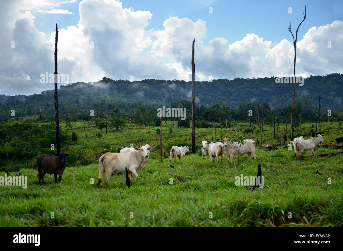 Brazil, Para, Amazon rainforest, Itaituba, slash and burn, cleared, cows on pastureland - Stock Image