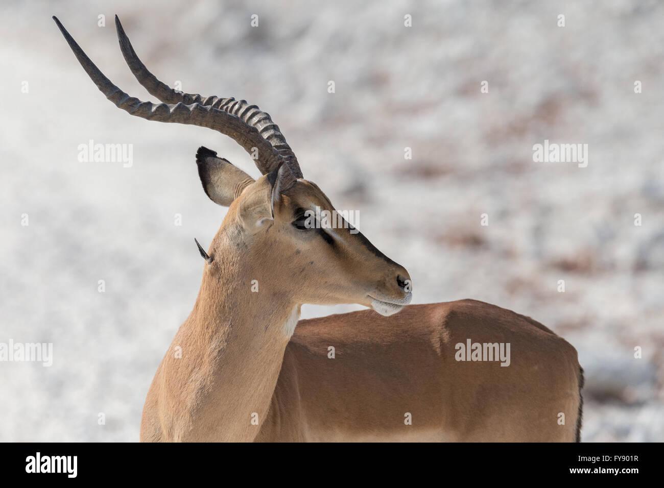 Male black-faced Impala with twig in neck Etosha National Park Namibia - Stock Image