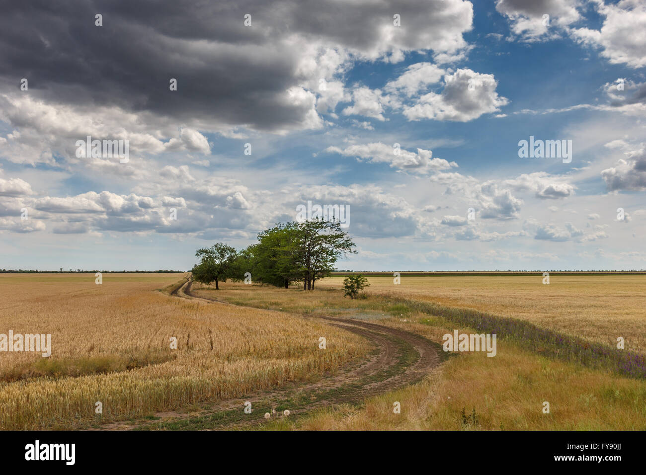 Country road among wheat fields near the village - Stock Image