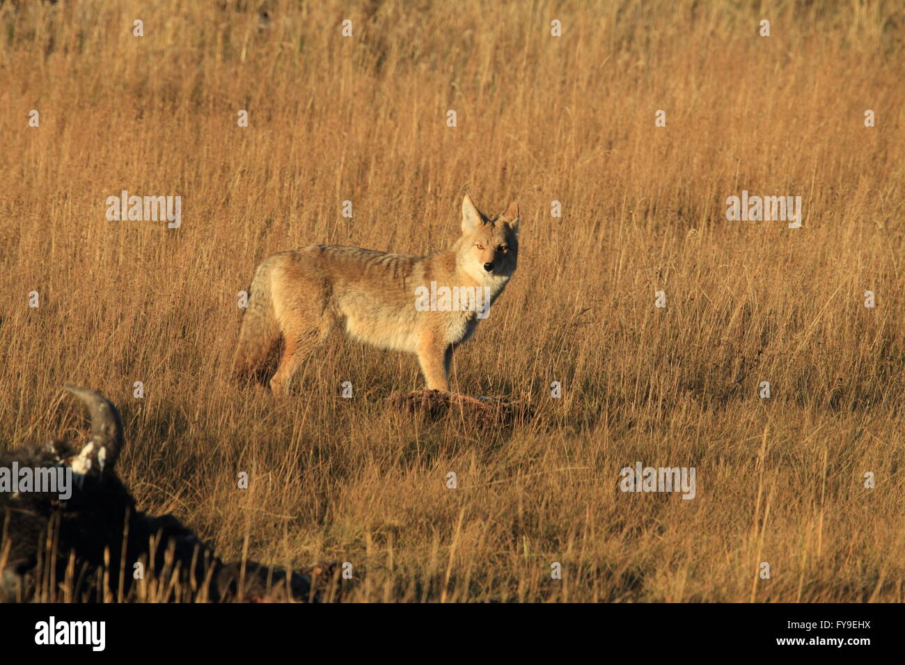 Koyote canis latrans coyote Yellowstone NP Wyoming USA - Stock Image