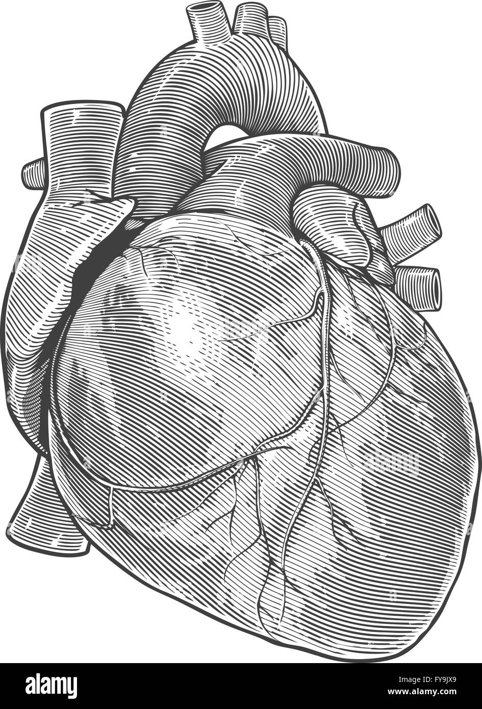 Heart Anatomy Stock Photos Heart Anatomy Stock Images Alamy
