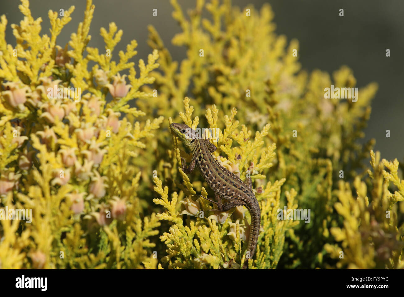 Italian wall lizard climbing a thuya bush podarcis sicula lucertola Stock Photo