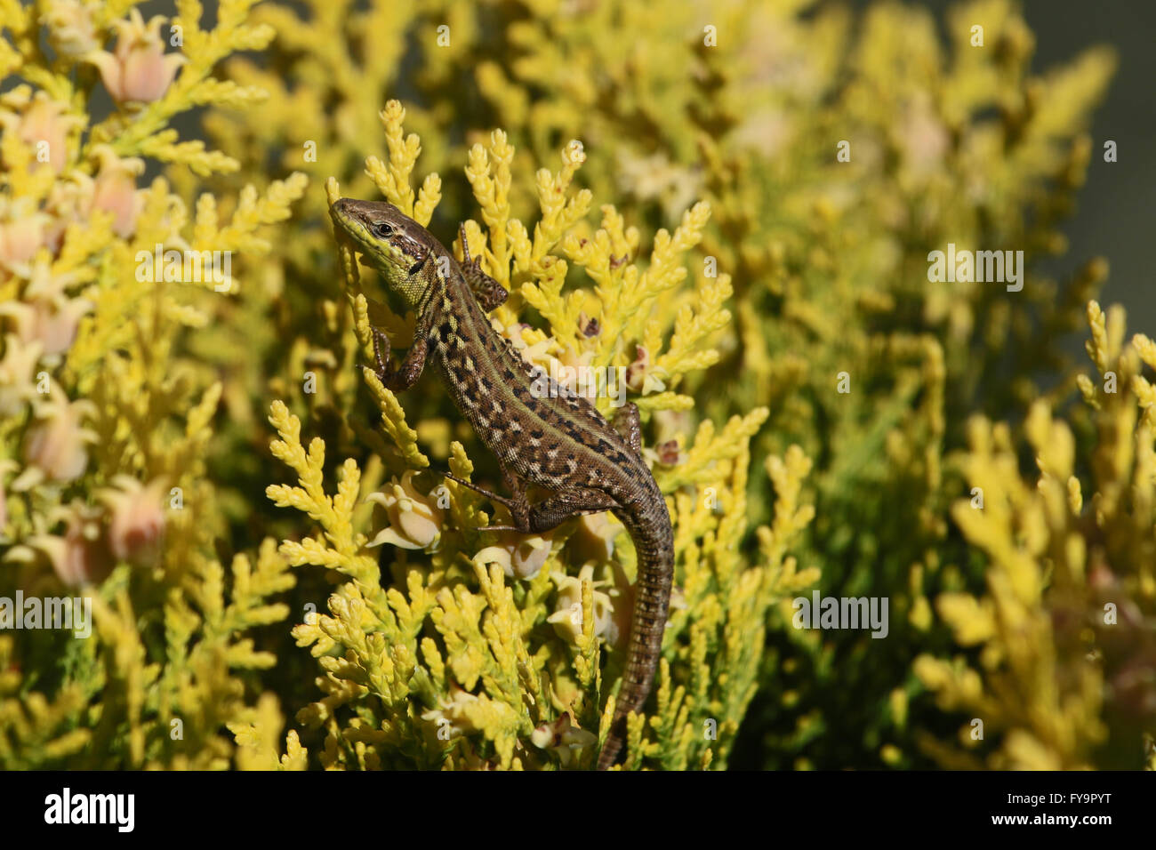 Italian wall lizard climbing a thuya bush podarcis sicula lucertola - Stock Image