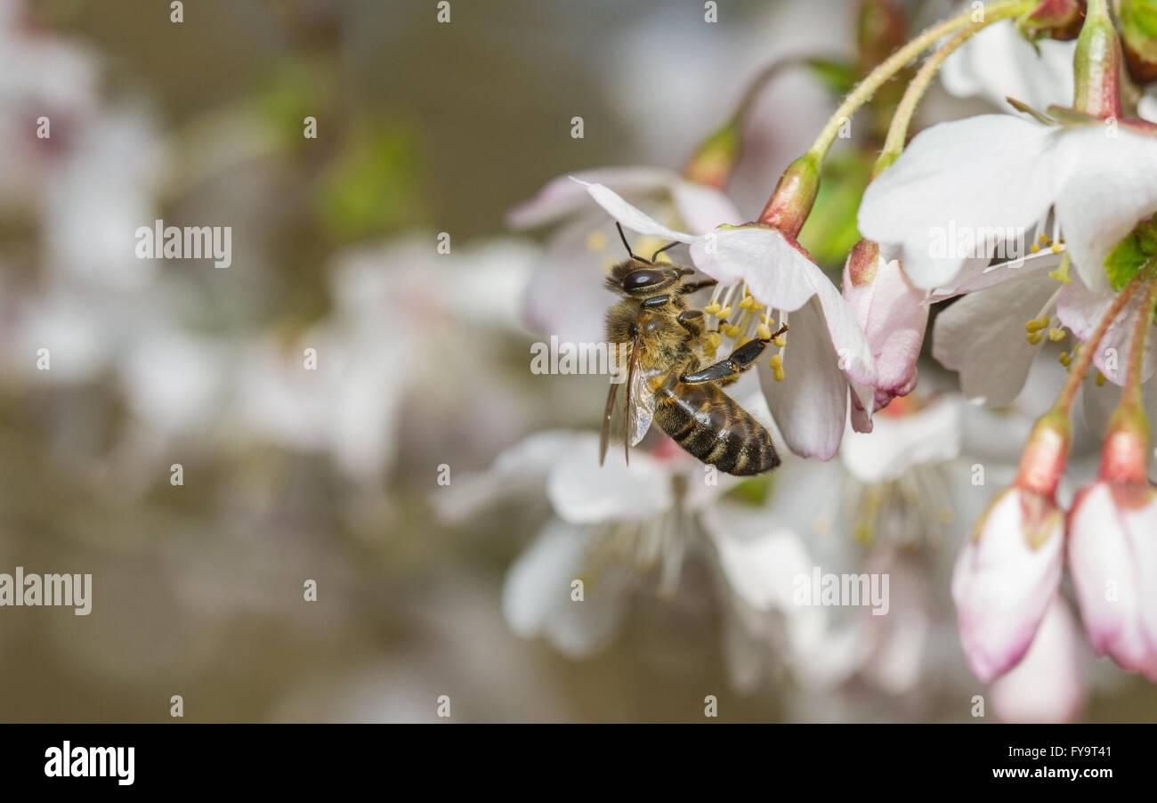 Western Honey Bee (Apis mellifera) feeding on cherry blossom - Stock Image