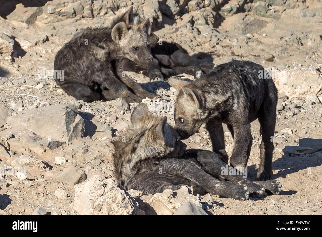 Spotted Hyena den juveniles Damaraland Namibia - Stock Image