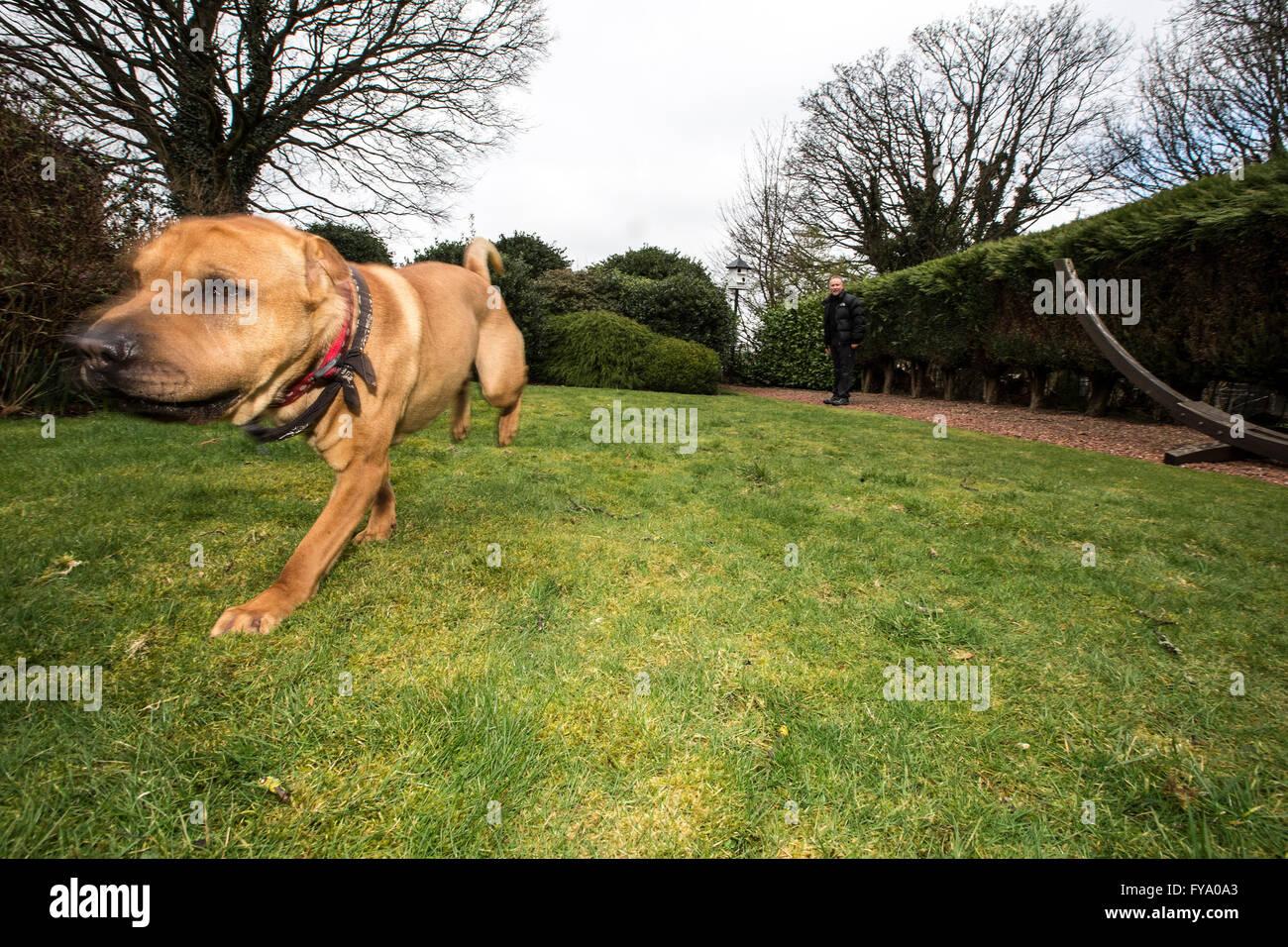 Rescue dog Kai Shar Pae mix - Stock Image