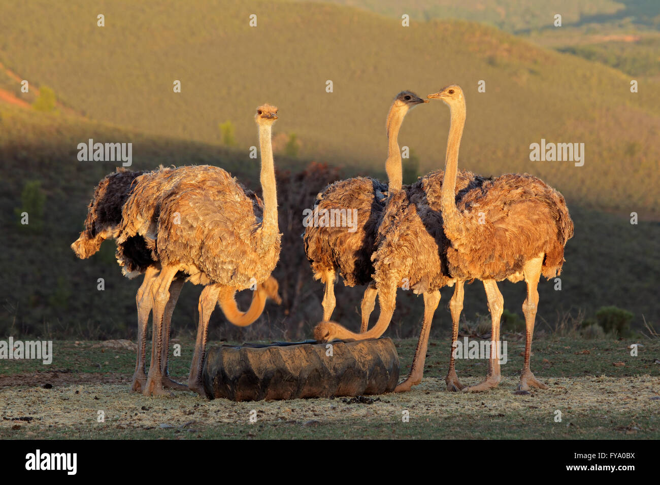 Ostriches on an ostrich farm, Karoo region, Western Cape, South Africa - Stock Image