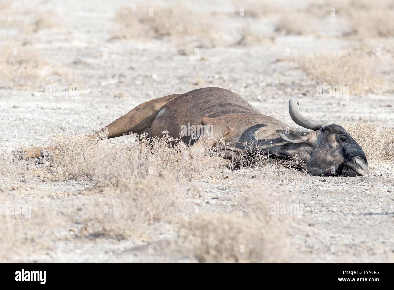 Blue Wildebeest lying down snoozing, Etosha National Park Namibia - Stock Image