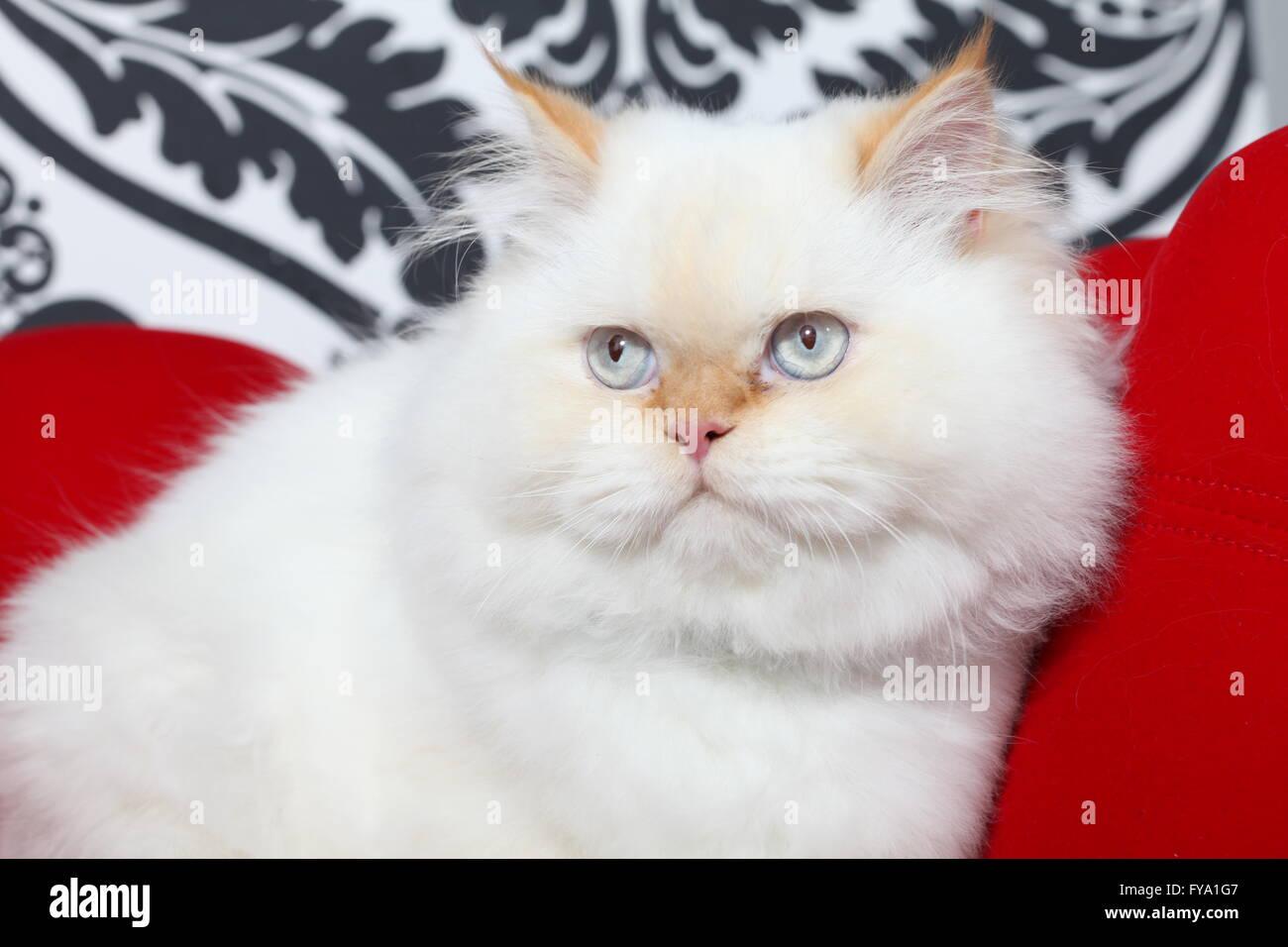 Persian aristocratic cat - Stock Image