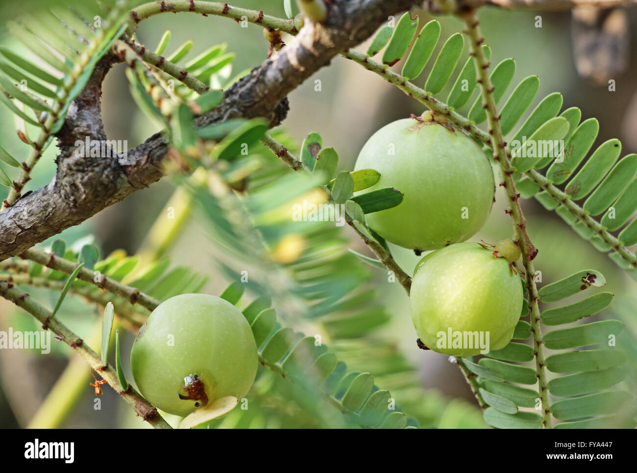 Fruits of Indian gooseberry, Phyllanthus emblica. An essential part of  traditional Indian herbal medicines. Also - Stock Image