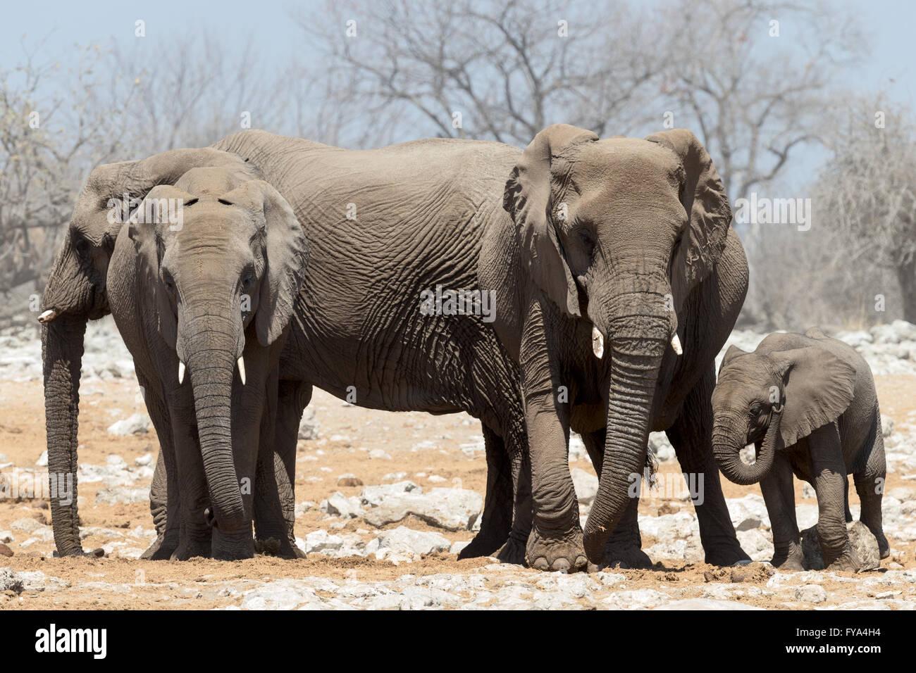 Elephants around watering hole Etosha National Park Namibia - Stock Image