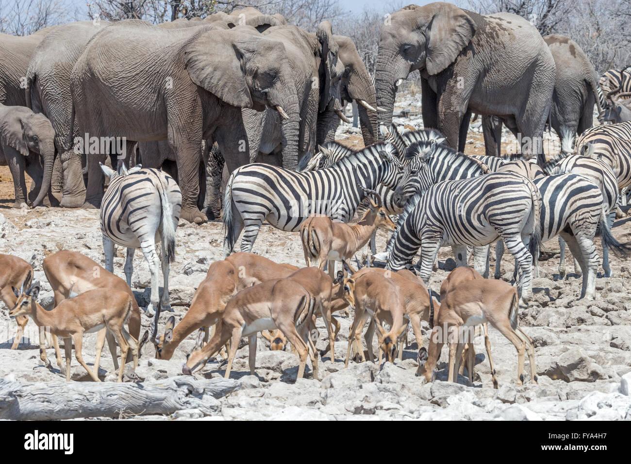Scenes around watering hole Etosha National Park Namibia - Stock Image