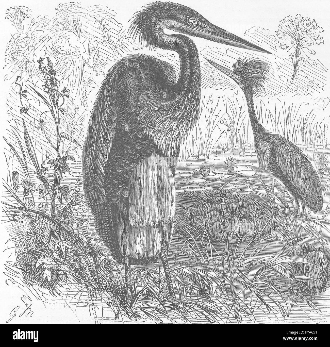 BIRDS: Goliath heron in breeding plumage , antique print 1895 - Stock Image
