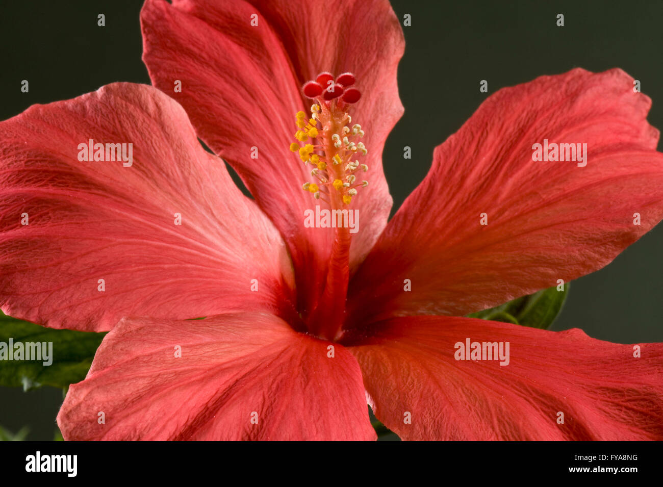 Red flower of an hibiscus house plant hibiscus rosa sinensis stock red flower of an hibiscus house plant hibiscus rosa sinensis showing stigma and anthers izmirmasajfo