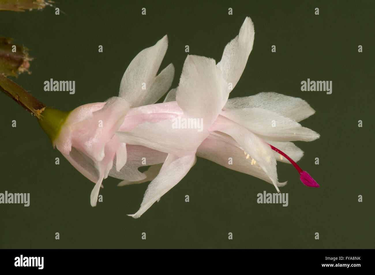 A Christmas cactus flower, Schlumbergera hybrid, with white to pink tube and puple, magenta pistol - Stock Image