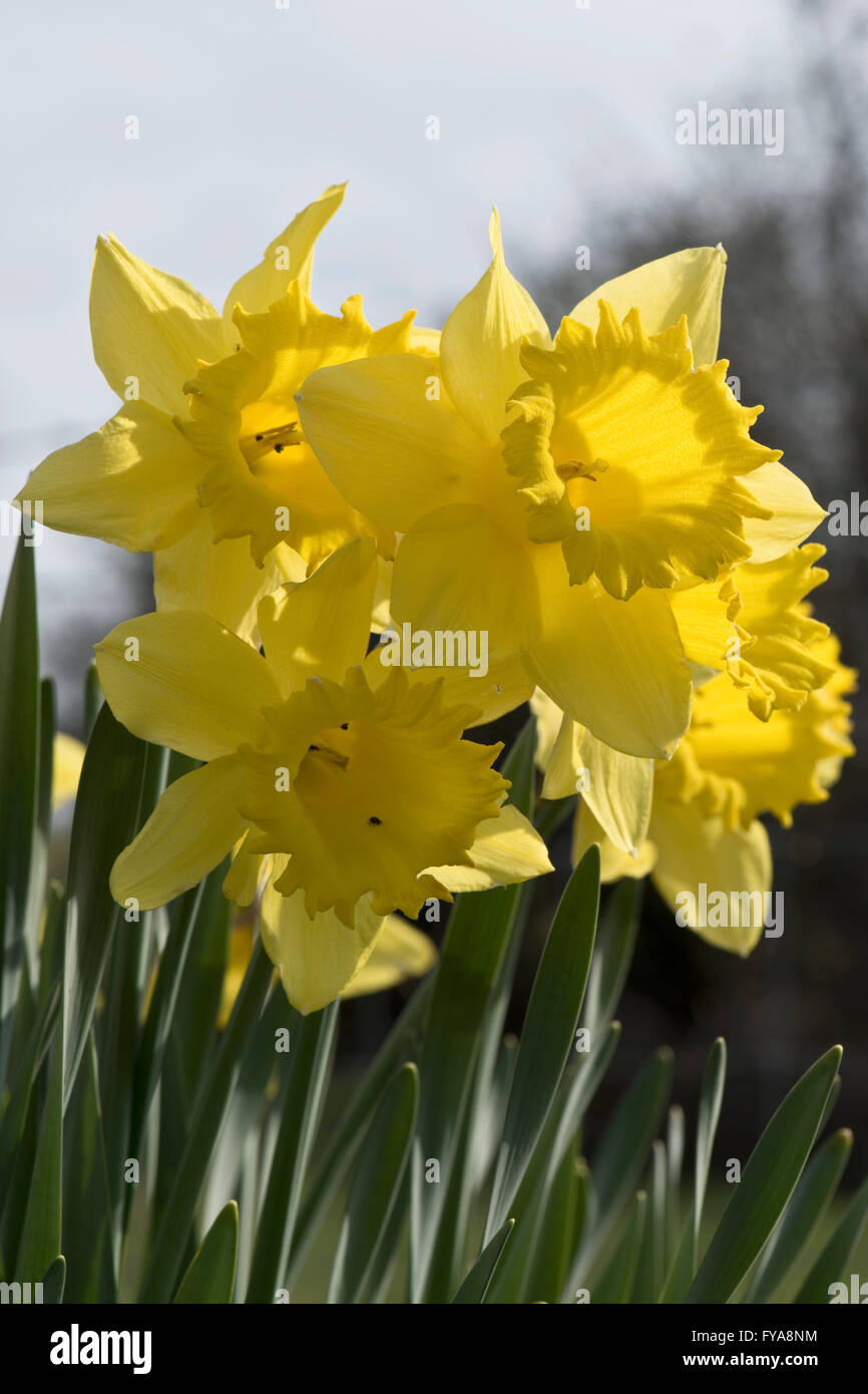 Large yellow daffodils backlit by spring sunshine - Stock Image