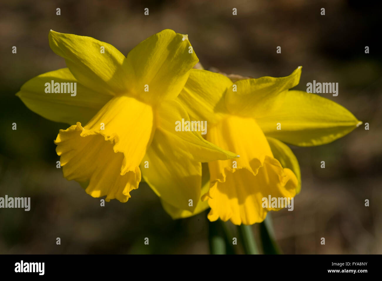 Large yellow daffodils in spring sunshine - Stock Image