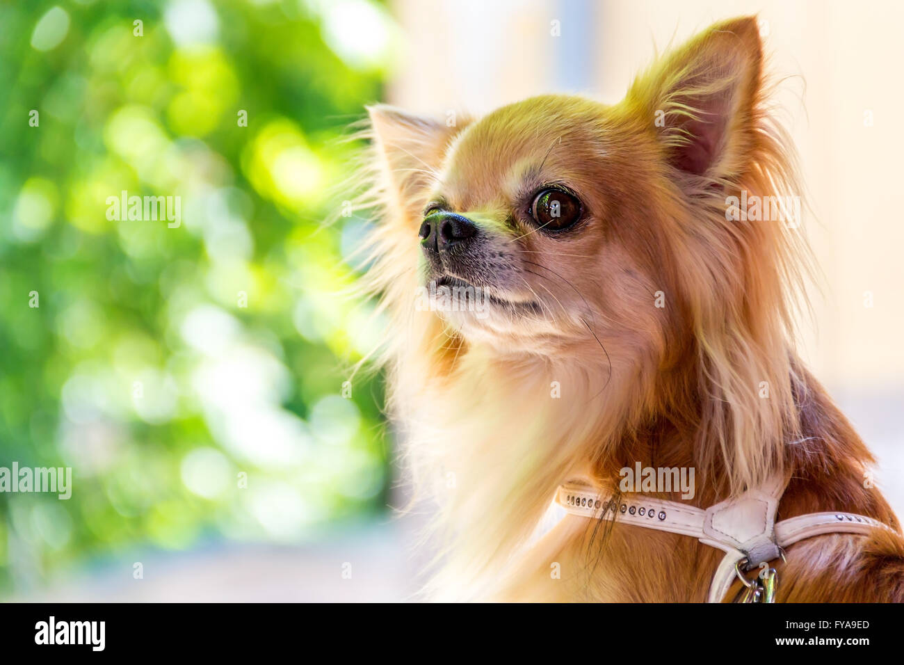 one little cute chihuahua in beautiful day - Stock Image