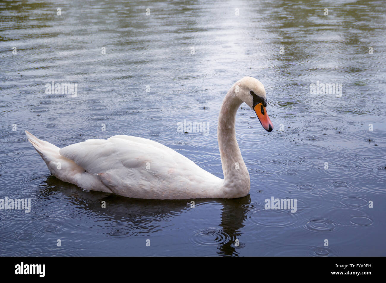 When It Rains It Swans >> Swan Swimming In Rain In Stock Photos Swan Swimming In Rain In