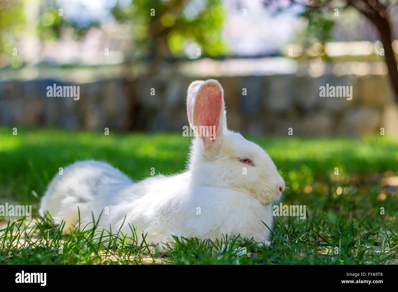White rabbit on the green grass in april - Stock Image