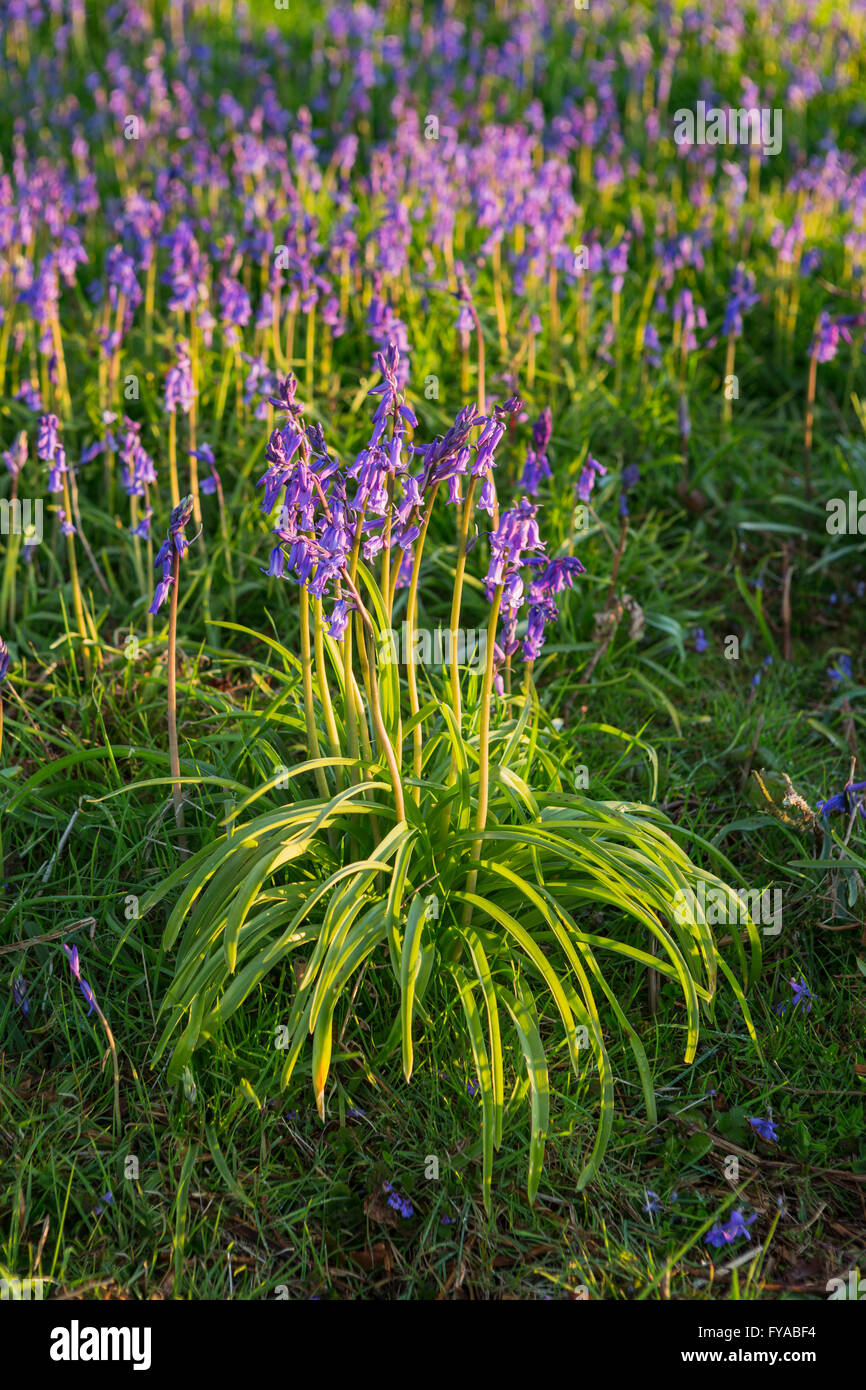 Wild English Bluebells are lit up by the early morning sunrise. Stock Photo