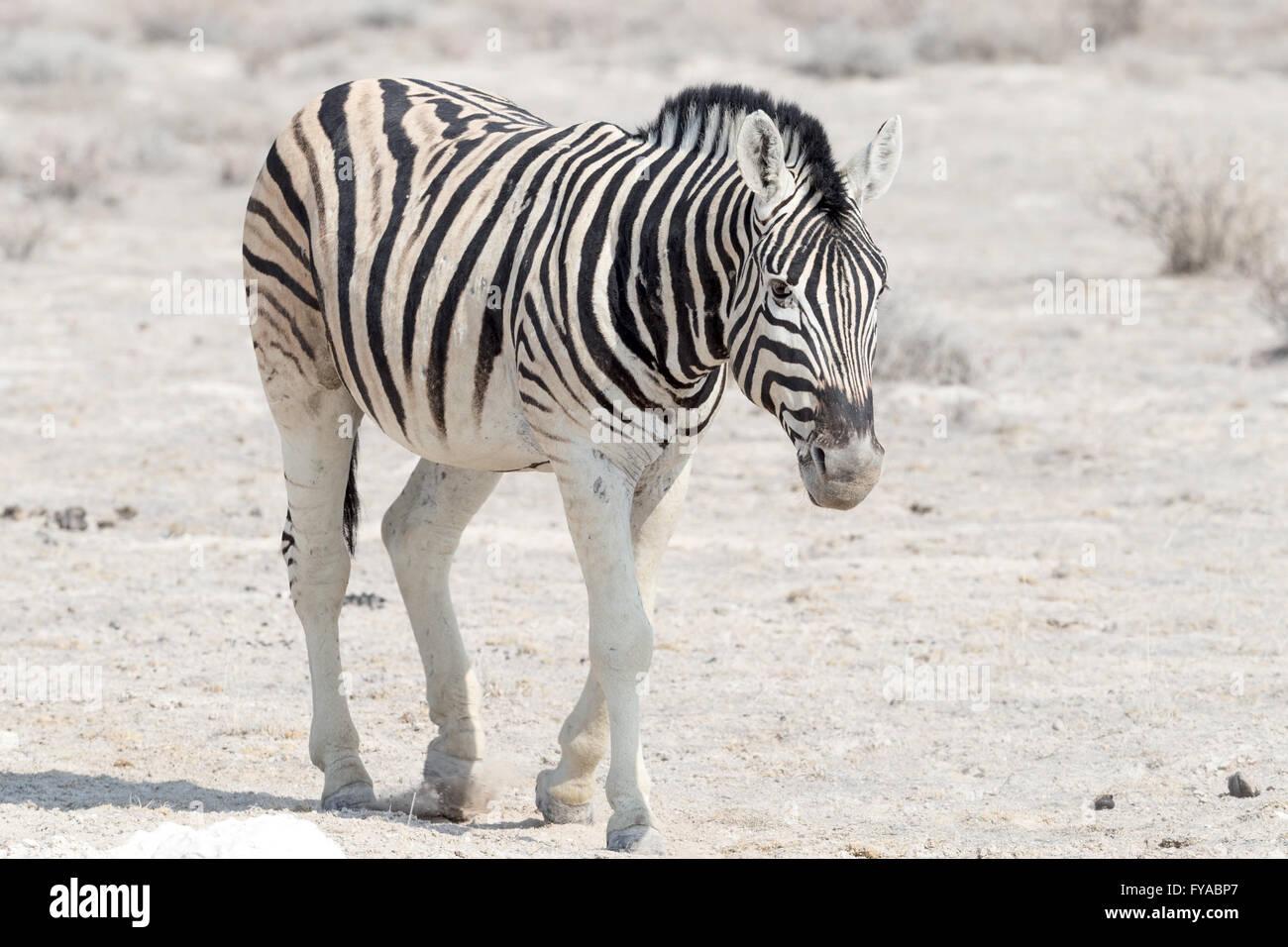 Plain's Zebra Chapman's race walking along the road Etosha National Park Namibia - Stock Image