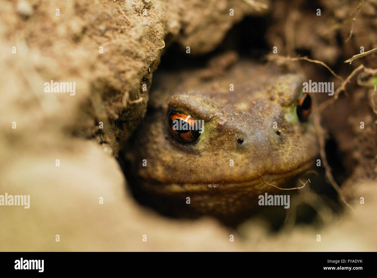 Macro photography of a toad in a hole watching you intently 2 - Stock Image