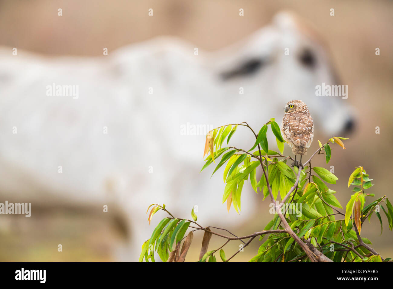 Burrowing owl Athene cinicularia, adult, perched on vegetation with cattle walking by, Los Llanos, Colombia, in - Stock Image