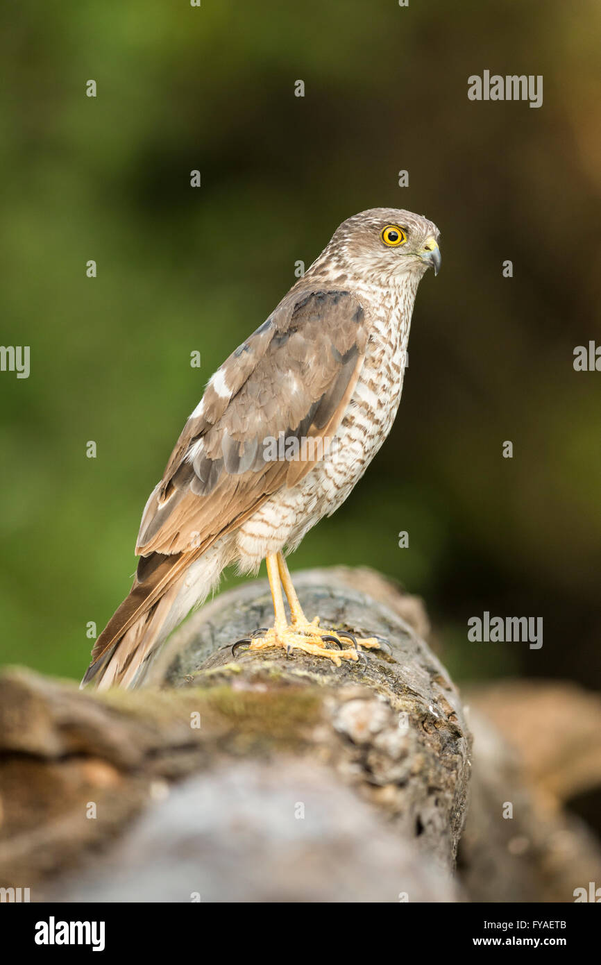 Eurasian sparrowhawk Accipiter nisus, juvenile male, perched on log in woodland, Lakitelek, Hungary in July. Stock Photo