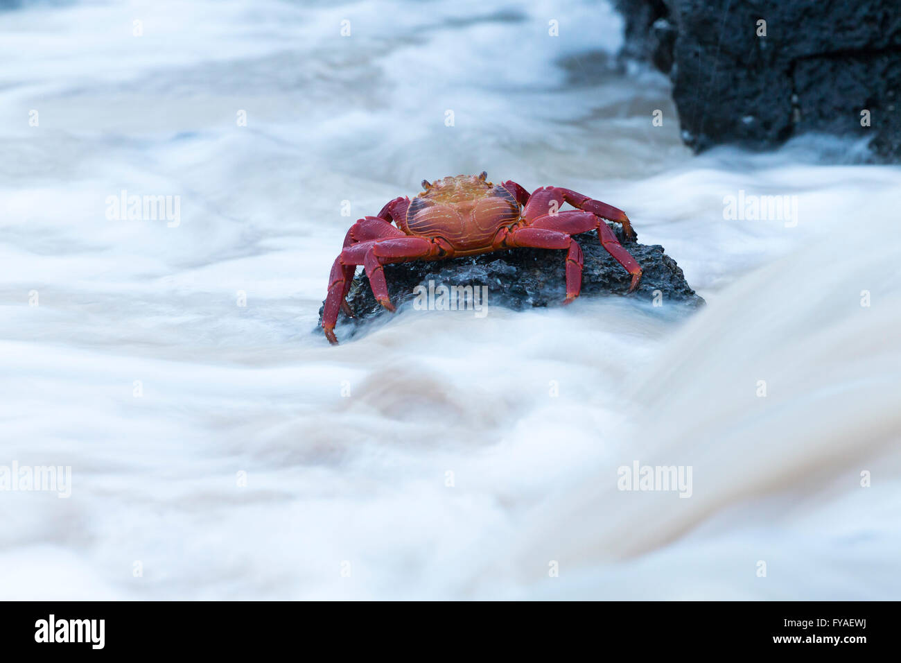 Red rock crab Grapsus grapsus, clinging to rock with swirling water, Las Bachas, Santa Cruz, Galápagos Islands in April. Stock Photo