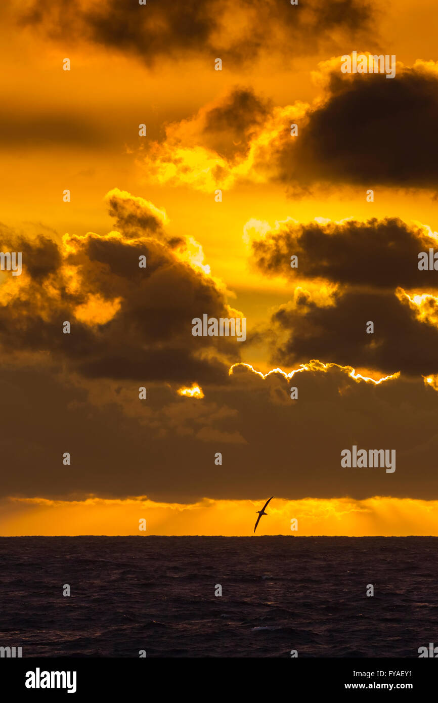 Wandering albatross Diomedea exulans in flight at sunset, South Atlantic between Falkland Islands and South Georgia - Stock Image
