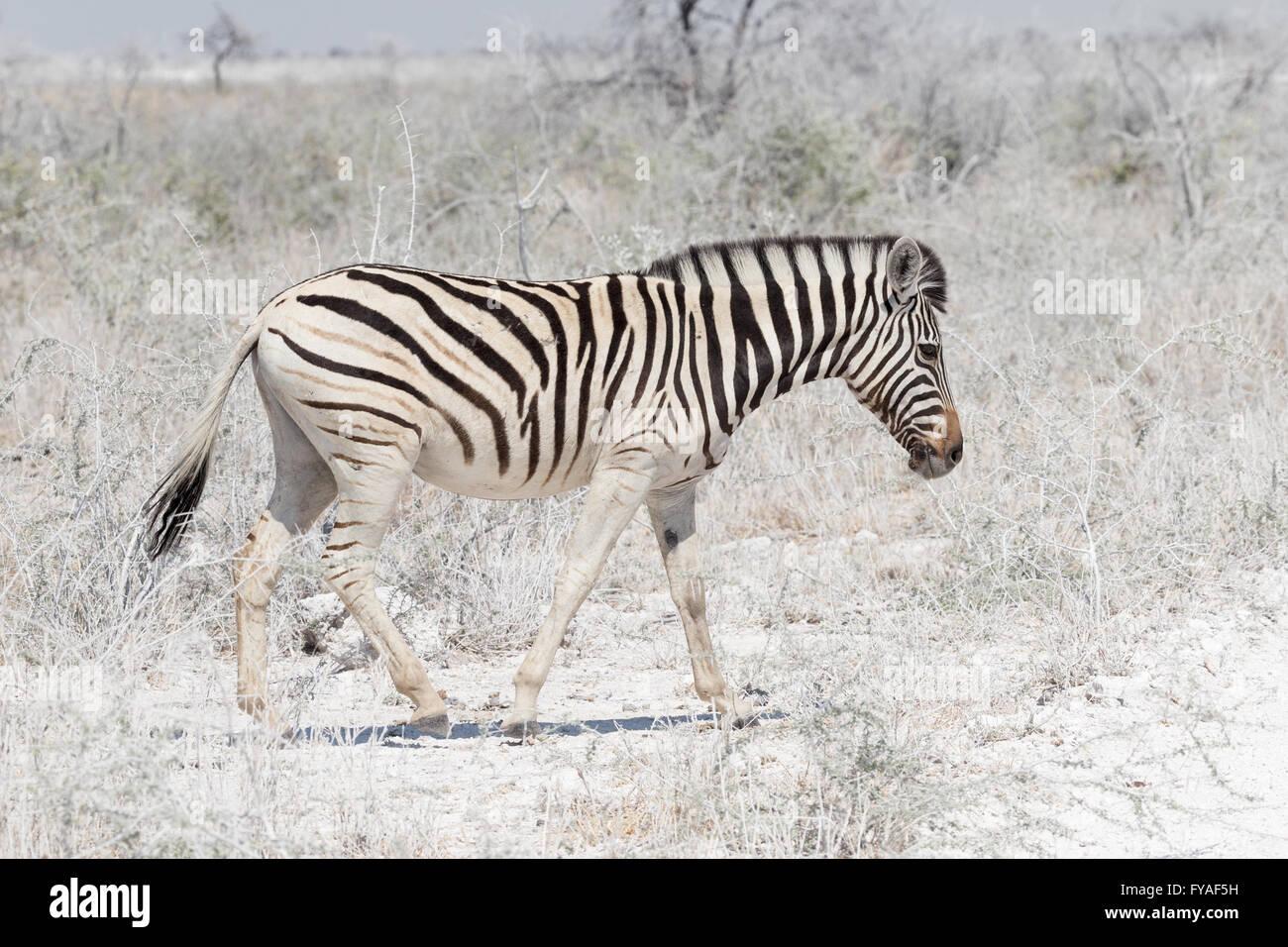 Plain's Zebra Chapman's race Etosha National Park Namibia - Stock Image