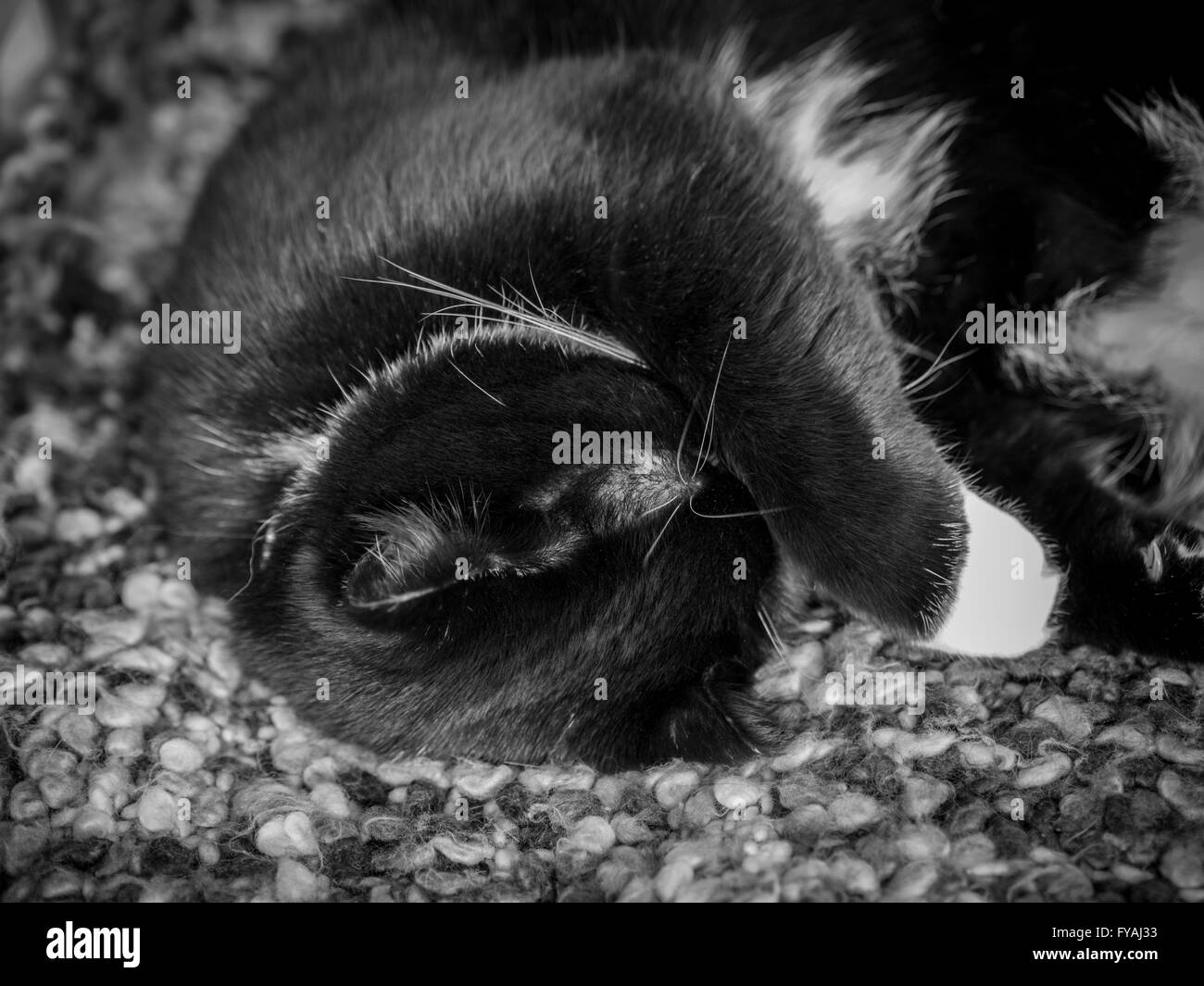 Black and white cat hiding it's face with paw - Stock Image