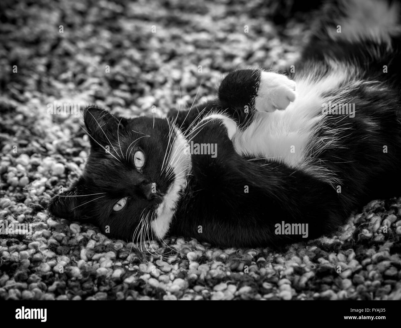 Black and white cat lying on it's back looking at camera - Stock Image