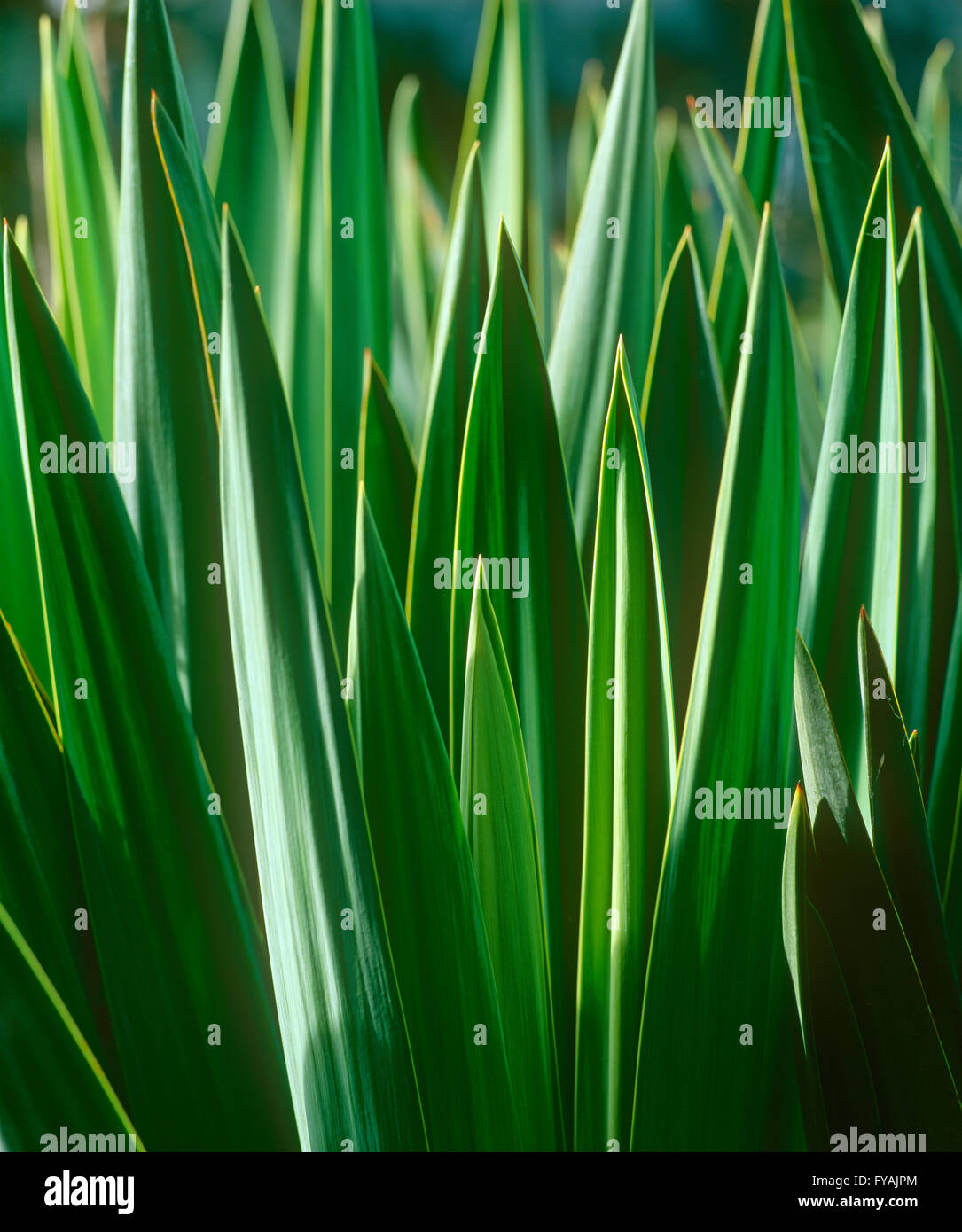 Close-up of blades of grass, outside. - Stock Image