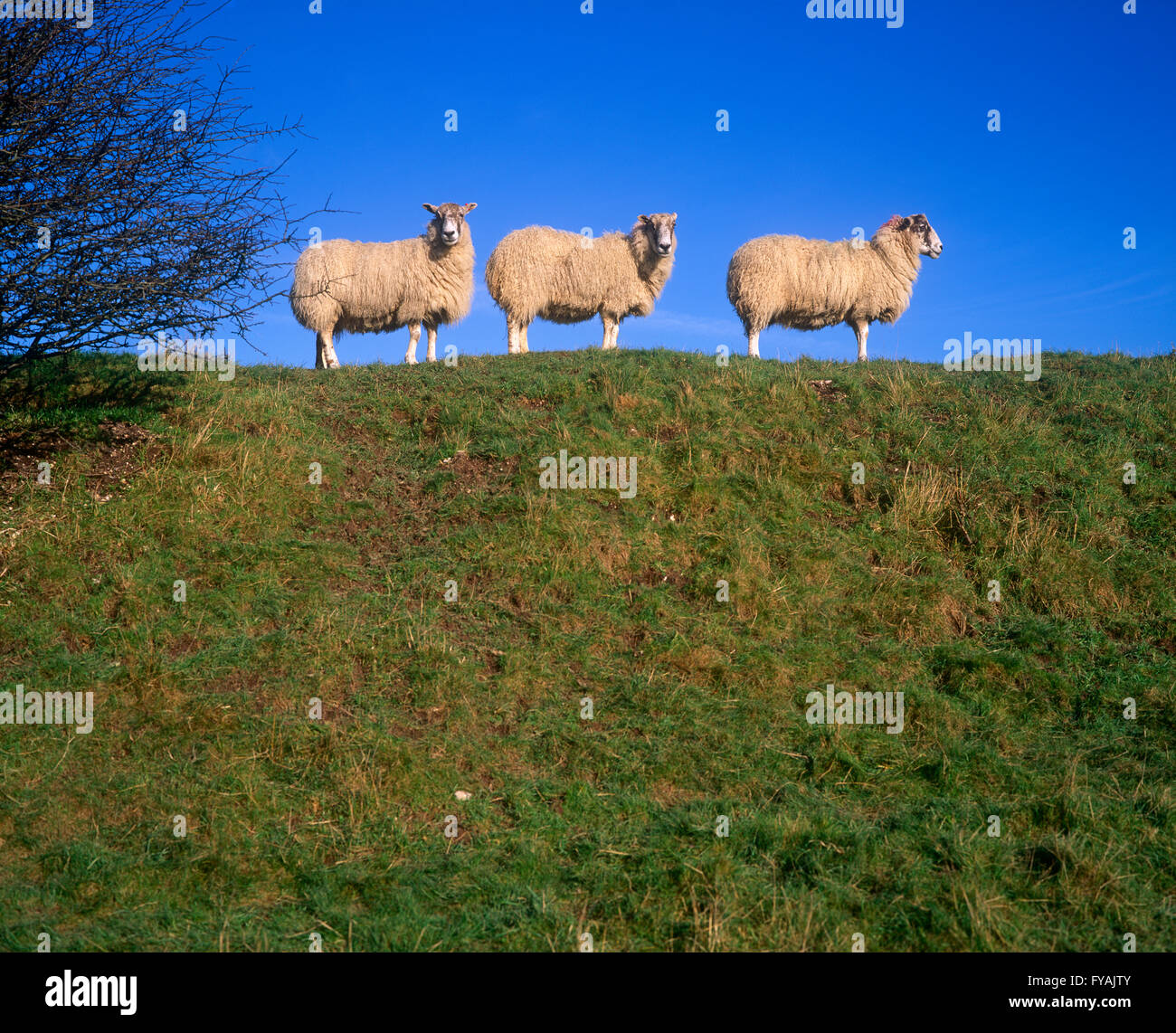 Three sheep standing in a line on a hill, outside. - Stock Image