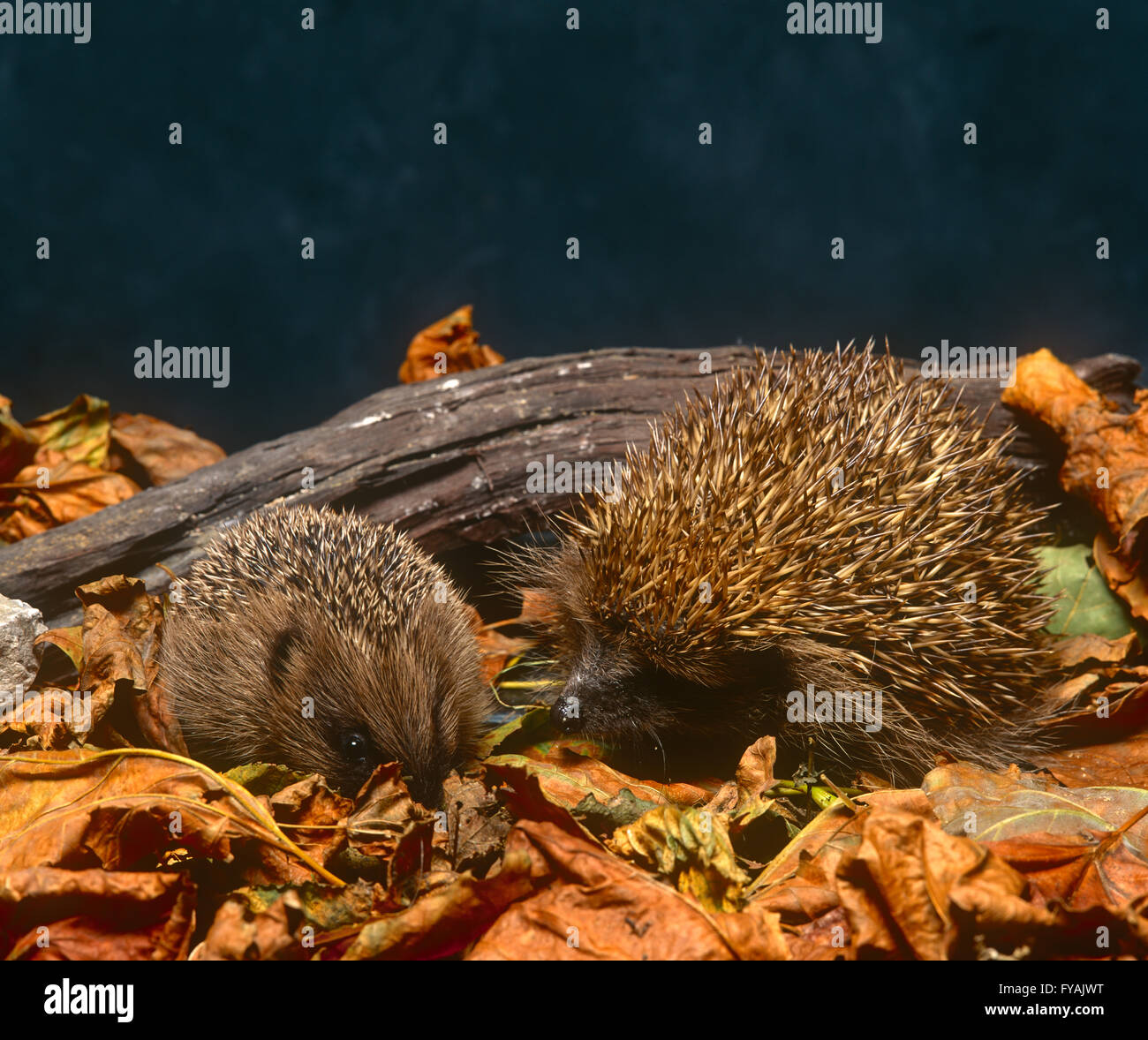Two hedgehogs sitting in leaves, inside. - Stock Image