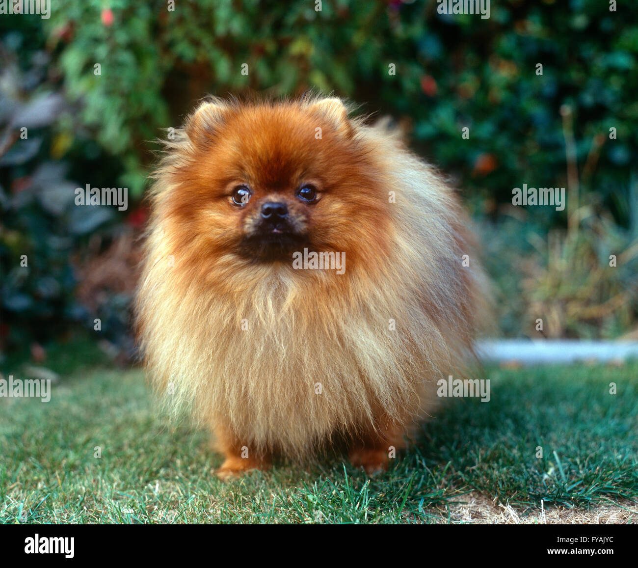 Pomeranian puppy portrait, outside. - Stock Image