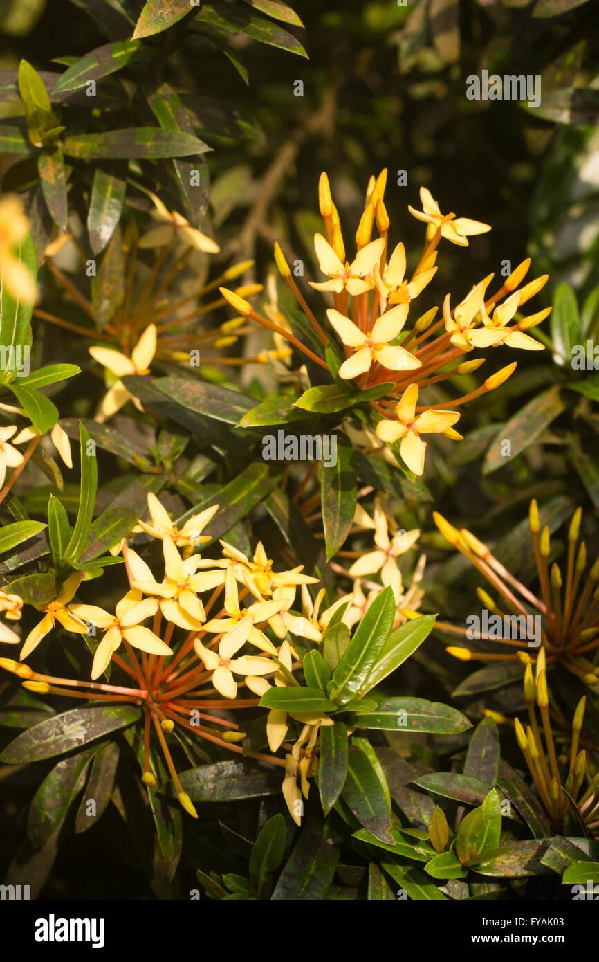 Fragrant Yellow Flowers Of The Tender Malaysian Shrub Ixora Odorata